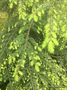 Fresh, vibrant eastern hemlock (Tsuga canadensis) growth in Knox County, Tennessee.