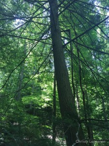 Old growth eastern hemlock (Tsuga canadensis) in Knox County, Tennessee.