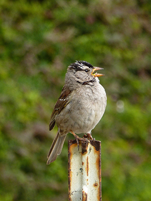 White-crowned sparrow male singing above the din in San Francisco